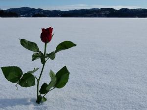En rose på isen